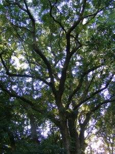 ash_tree